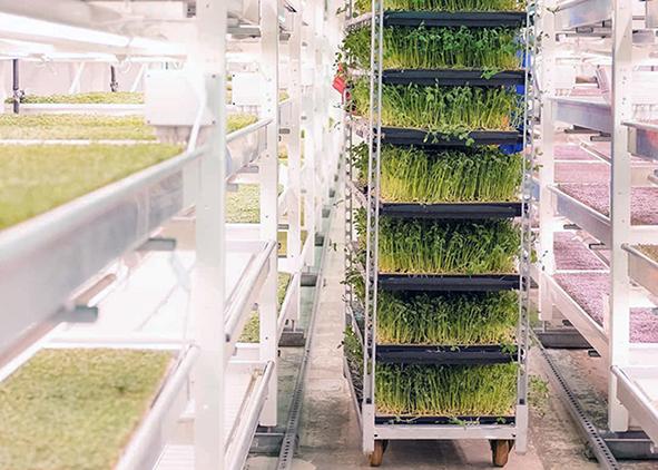 A successful Zero-acreage Farming: salad crops in London underground tunnels (credit: growing-underground.com). AGATHÓN 08 | 2020