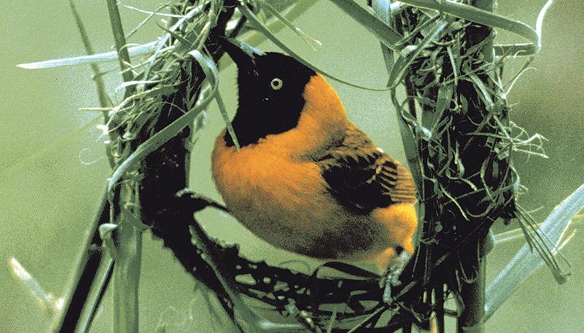L'uccello Ploceus Cucullatus, durante la realizzazione dell'involucro della sua casa